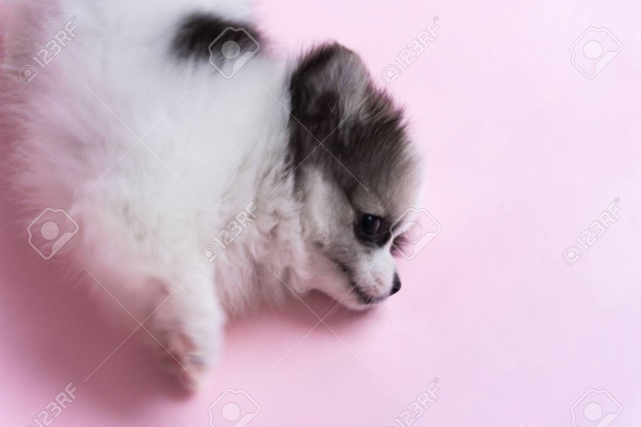 Closeup Cute Baby Pomeranian Dog On Pink Background For Pet Health