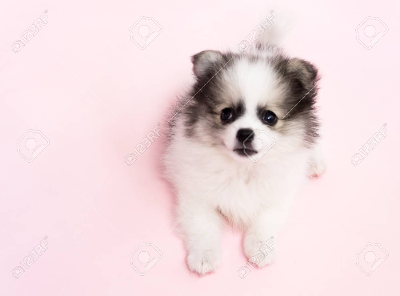 Cute Baby Pomeranian Dog On Pink Background For Pet Health Care