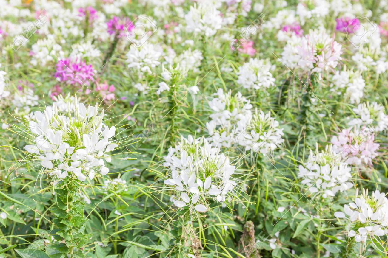 White And Pink Spider Flowers Cleome Spinosa In The Garden Stock