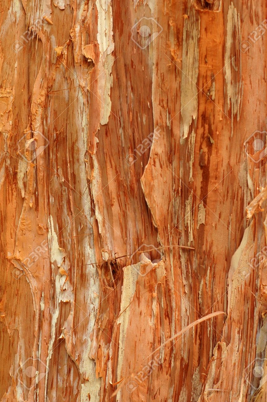 Abstract Background Texture of a Paperbark Tree (Melaleuca) Stock Photo - 7850056