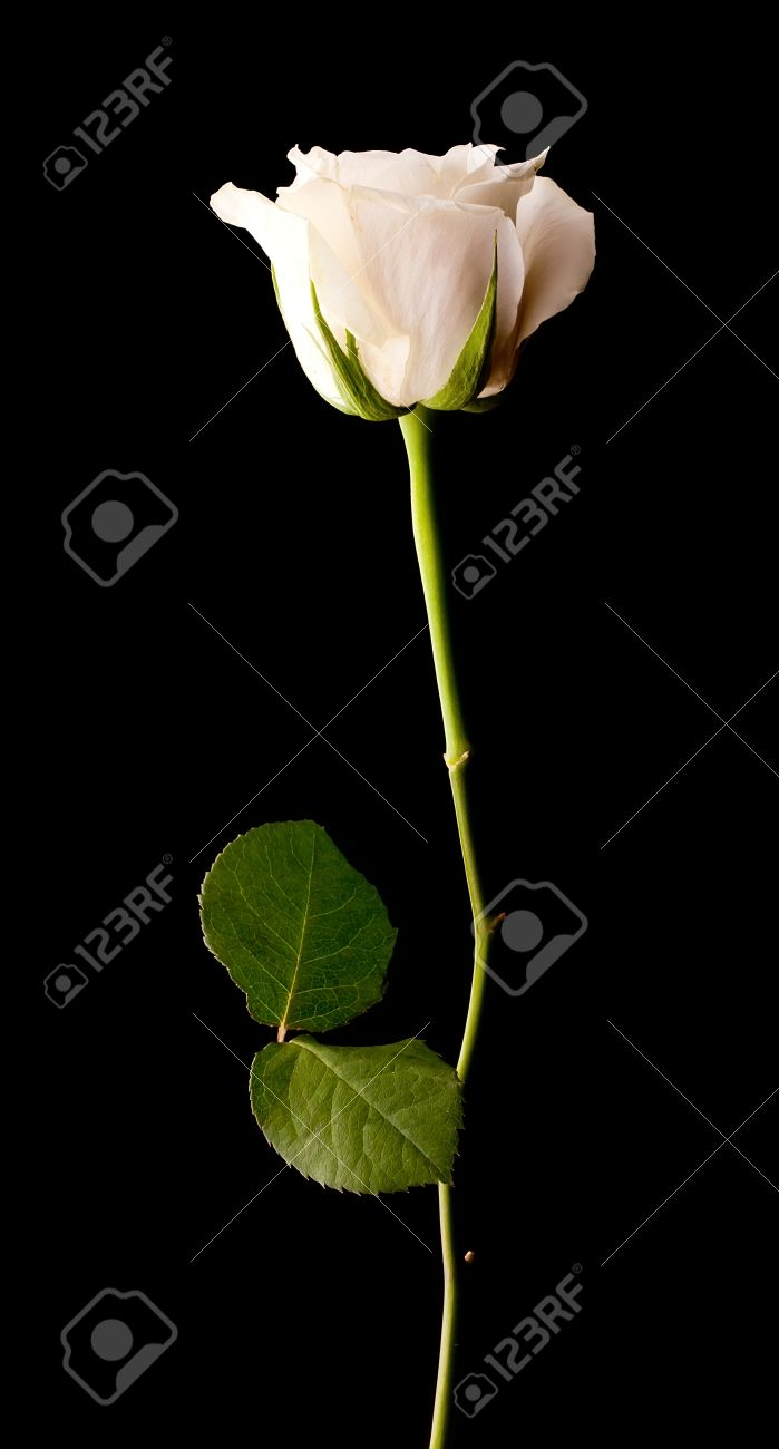 Single White Rose Black Background