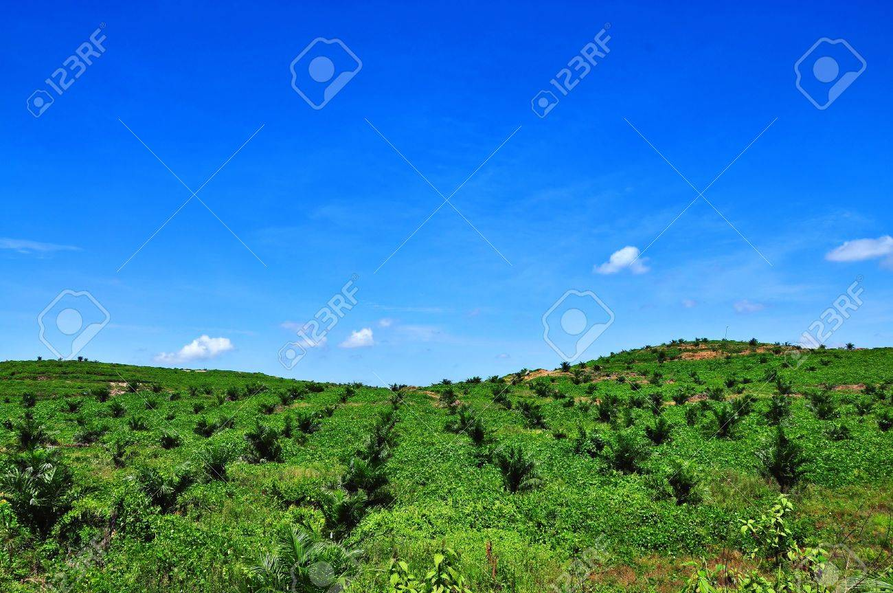 views of the oil palm plantation on the hill Stock Photo - 10352400