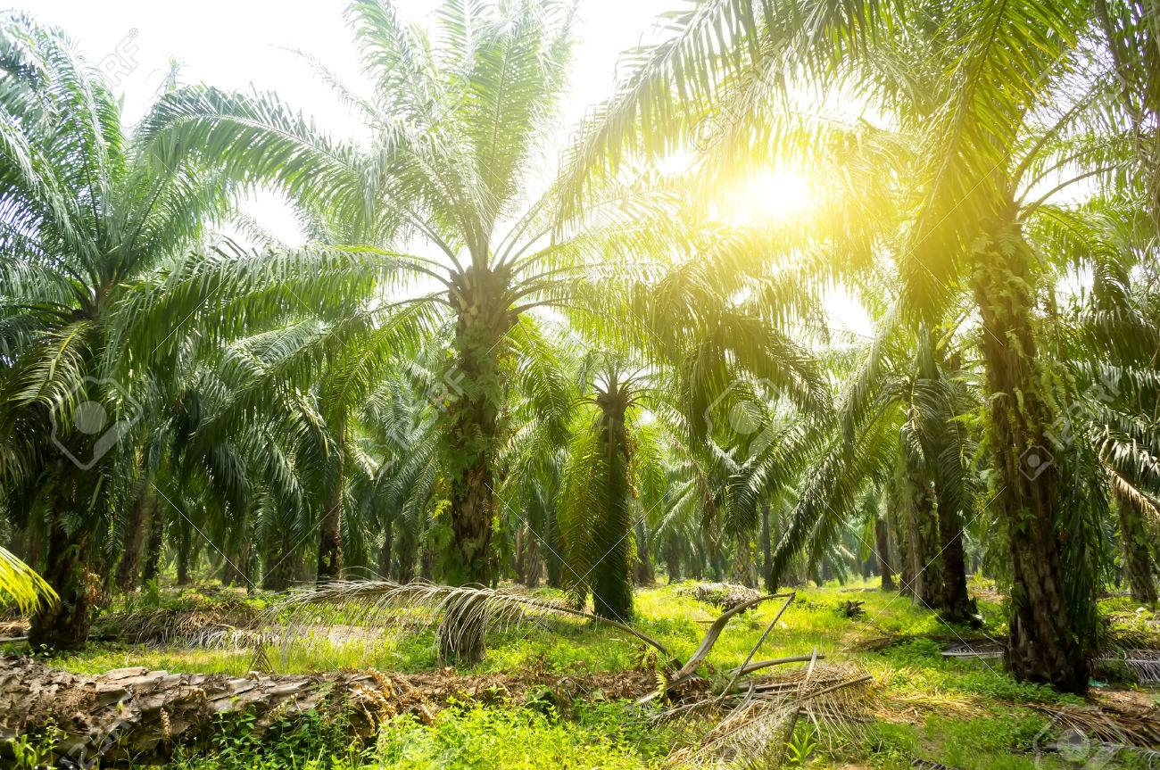 Palm oil plantation and morning sunlight - 65794552