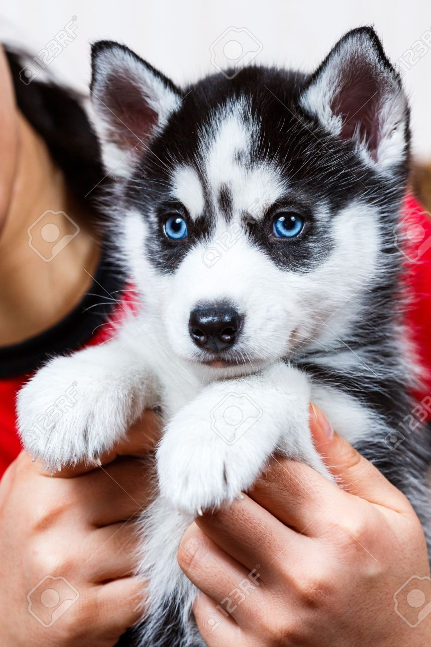 Siberian Husky Puppy With Blue Eyes Stock Photo Picture And Royalty