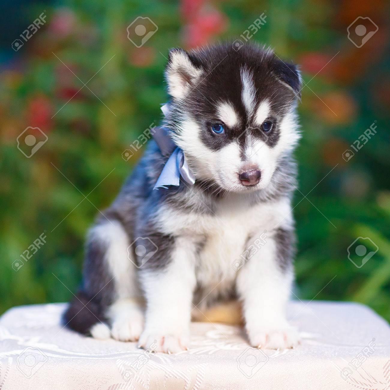 子犬 シベリアン ハスキー シベリアンハスキーの子犬、どう育てたらいい?ごはんの量や散歩・シャンプーなど基本の育て方|docdog(ドックドッグ)