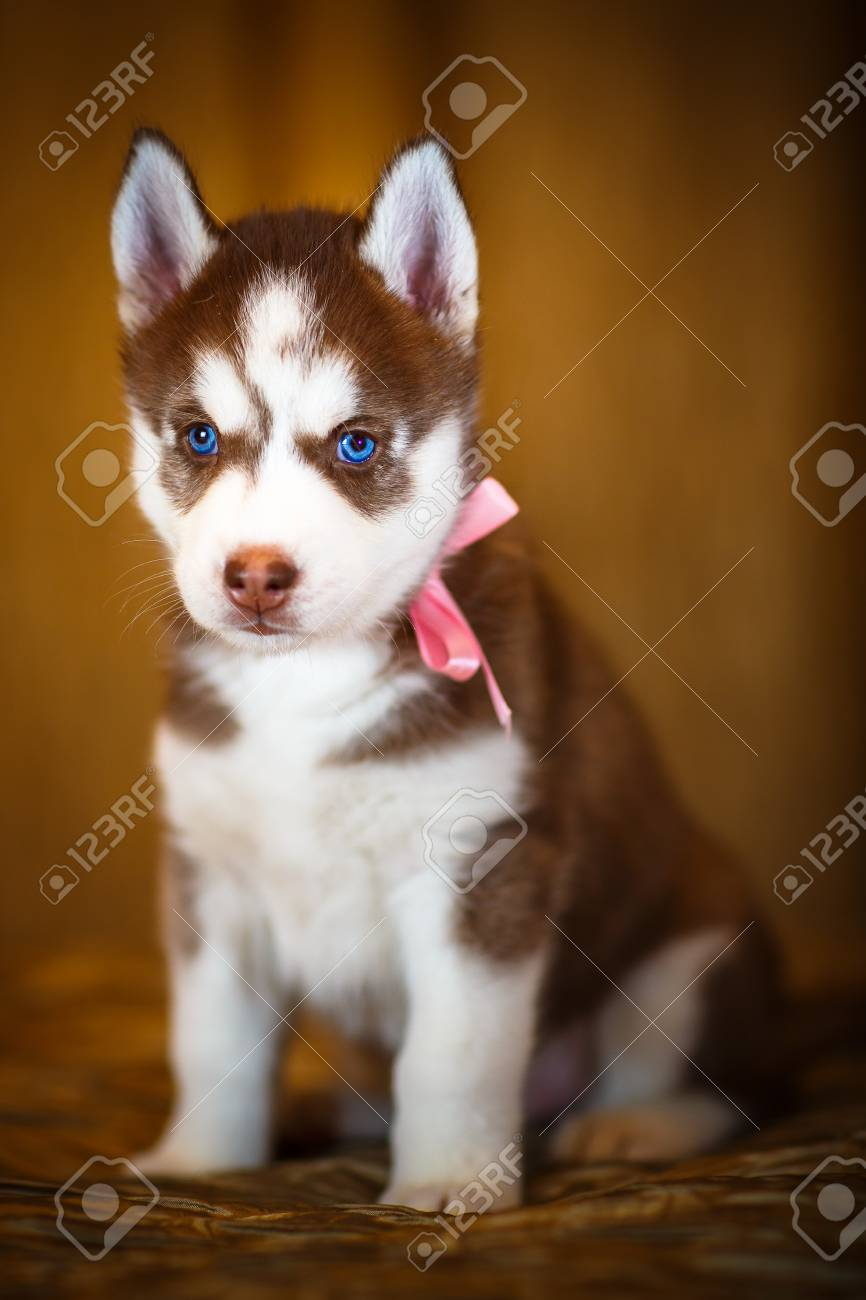 Siberian Husky Puppy With Beautiful Blue Eyes Stock Photo Picture And Royalty Free Image Image 56193655