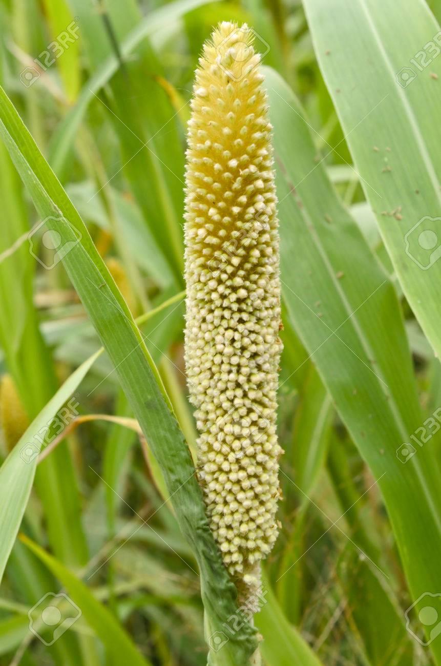 pierderea în greutate pearl millet