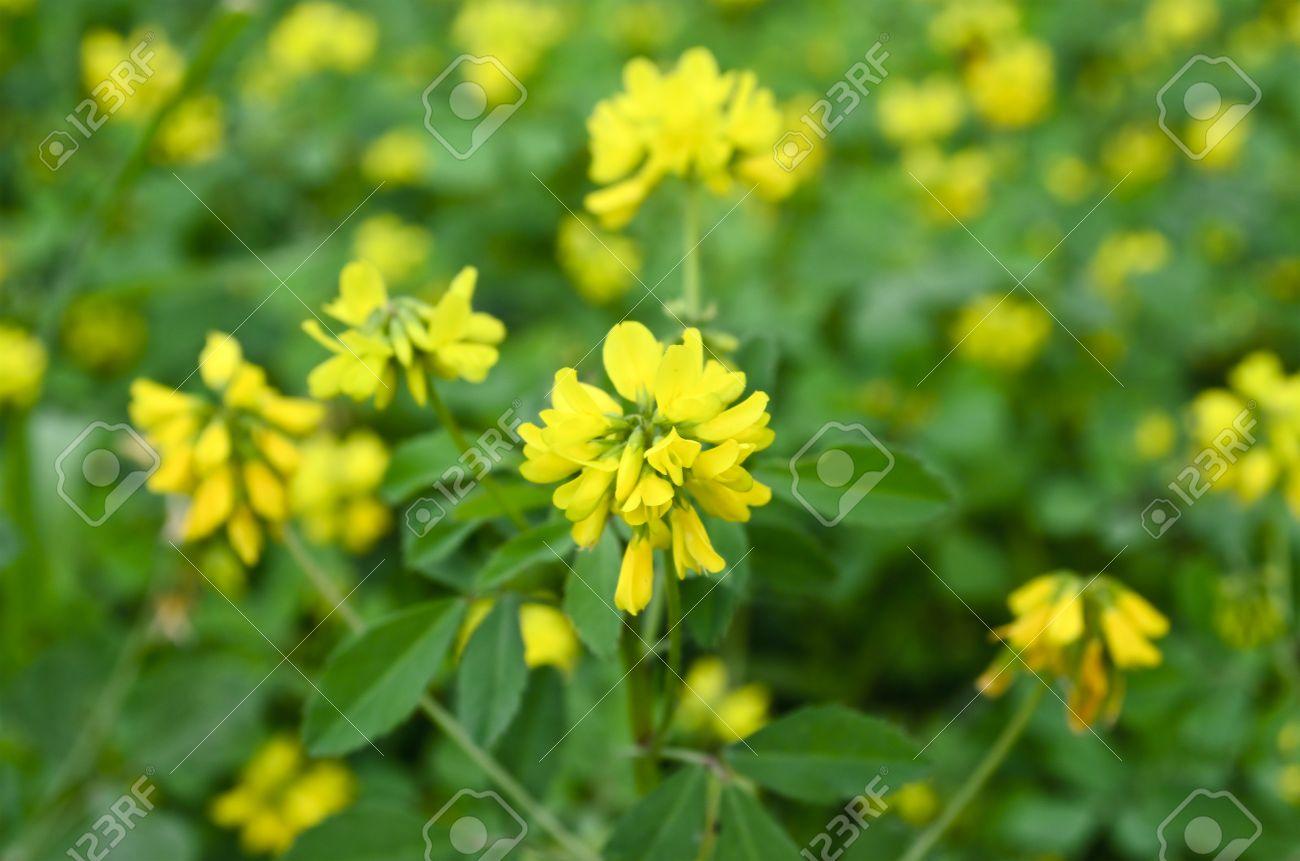 Fenugreek yellow flowers - 38394077