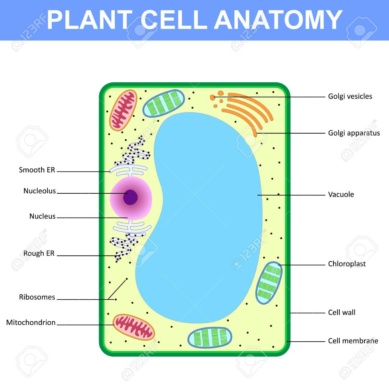 Estructura De Una Célula De La Planta