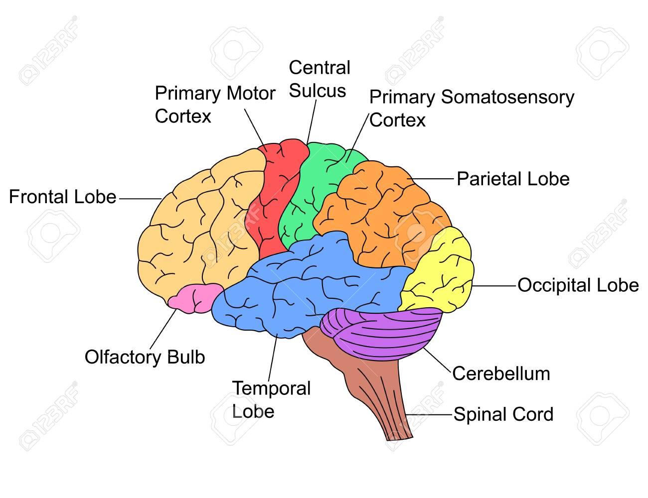 Parts of Brain - 73777237