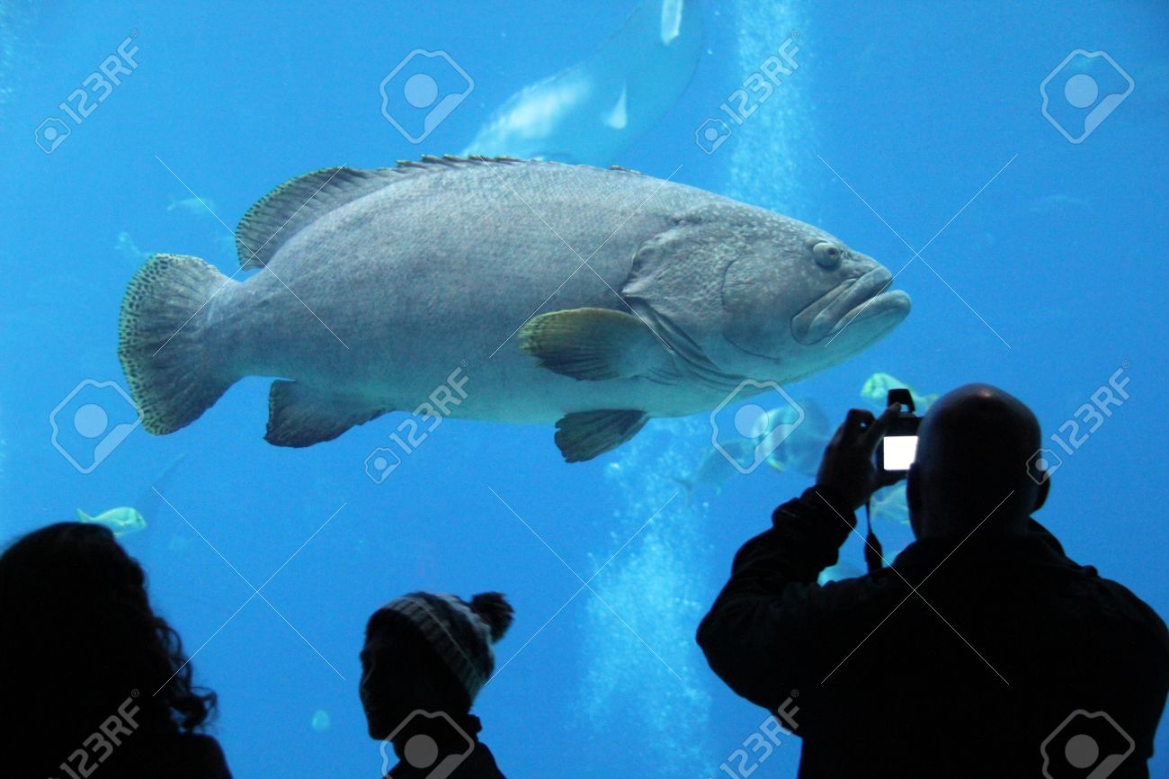 Fish in tank swimming - Large Fish Swimming In A Tank At The Georgia Aquarium Stock Photo 17062427