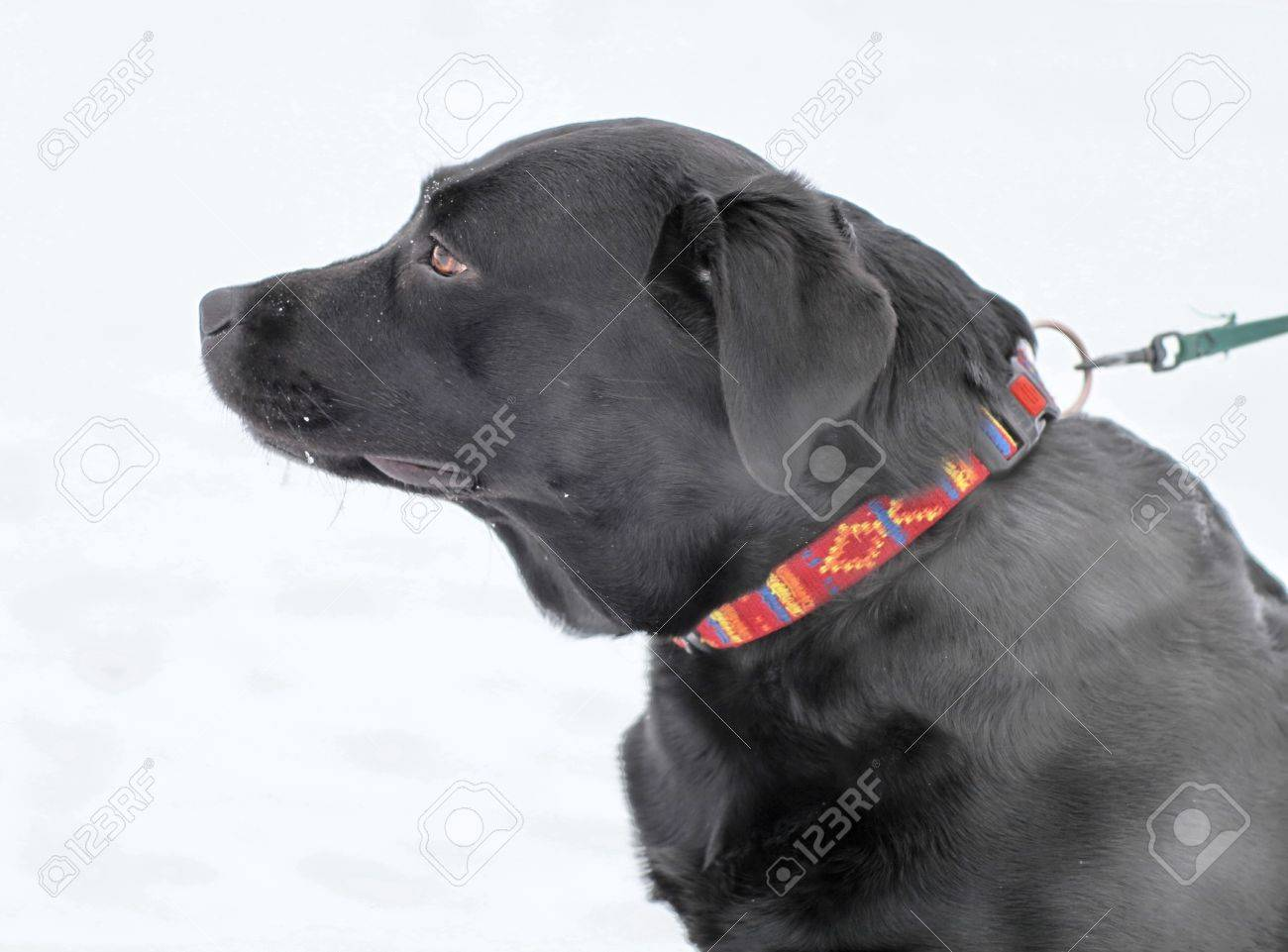 Black Labrador on the leash in the snow  close-up Stock Photo - 12856149