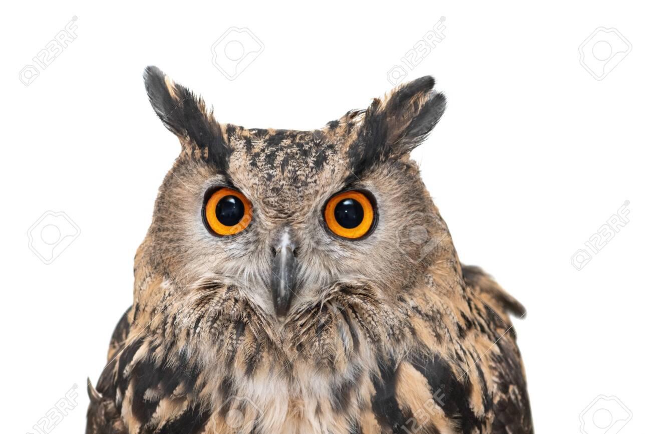 Portrait of the Eurasian Eagle Owl, bubo bubo. CLose up. Isolated on white background - 131961307