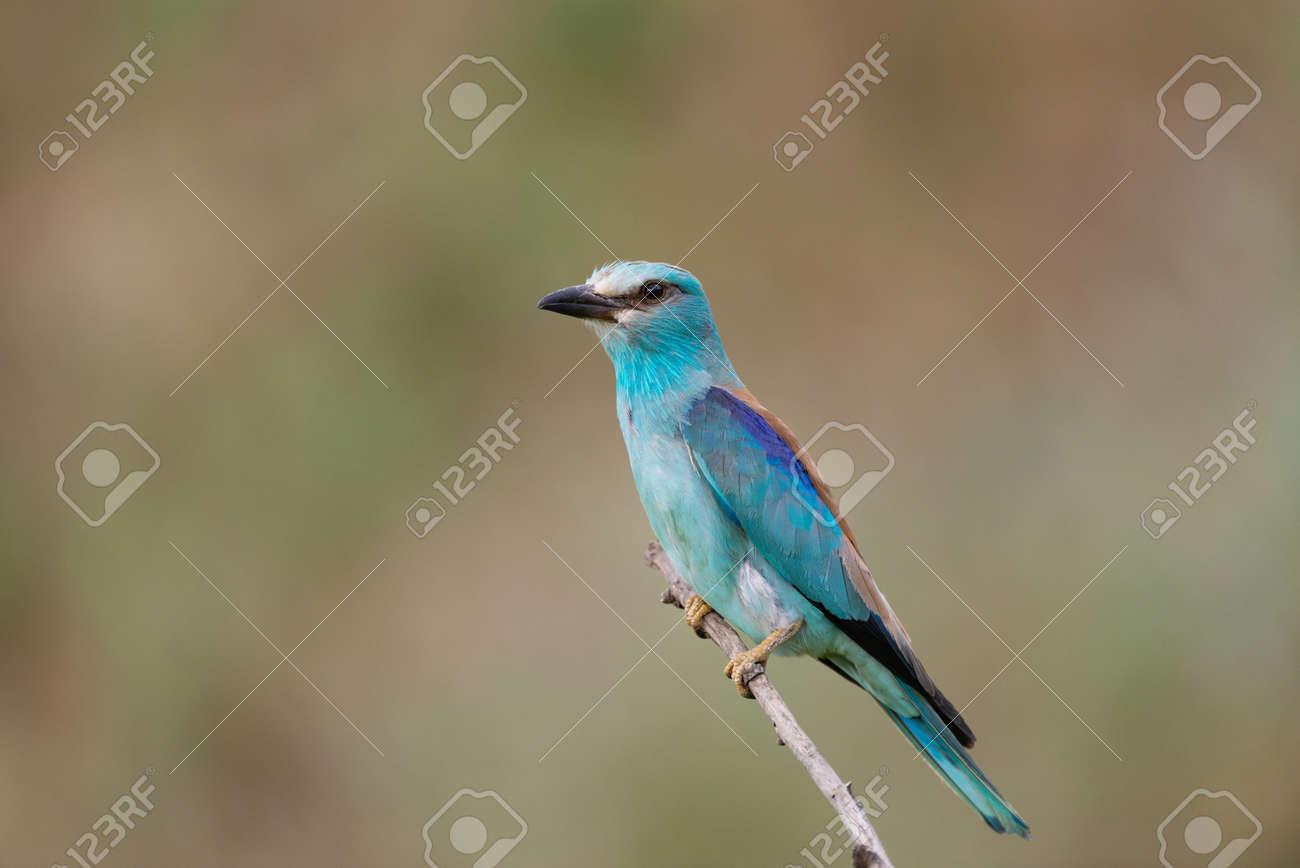 European Roller Coracias Garrulus bird portrait. In the wild. - 167184157