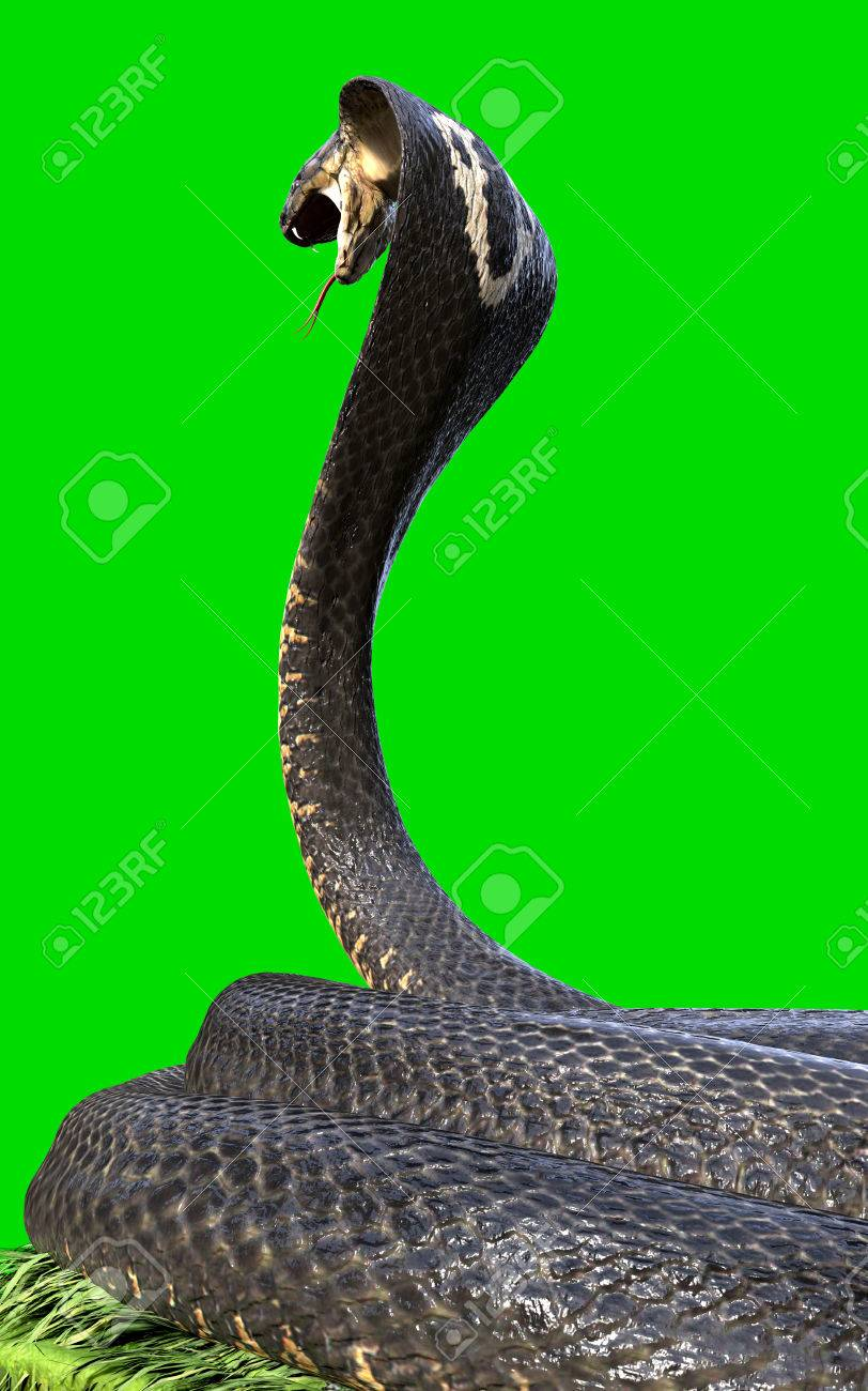 king cobra the world s longest venomous snake isolated on green