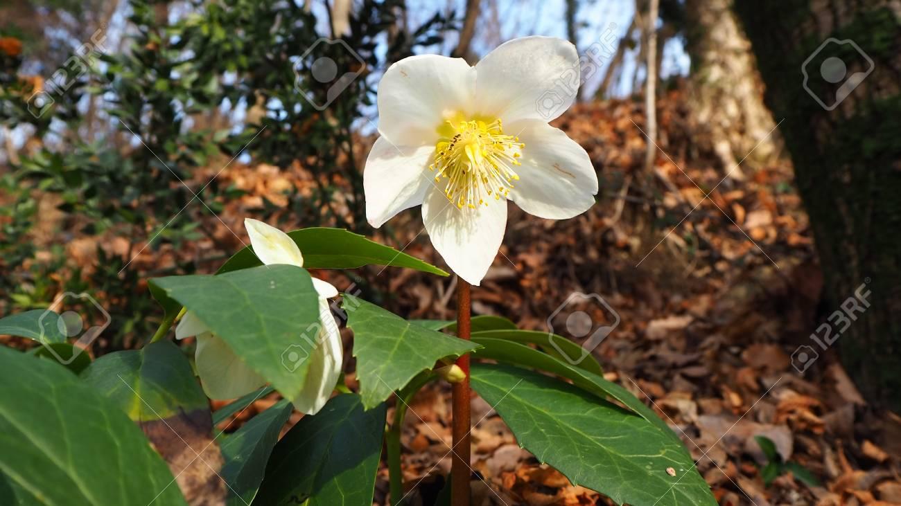 Christmas Leaf Name.Black Hellebore Or Christmas Rose Original Name Is Helleborus