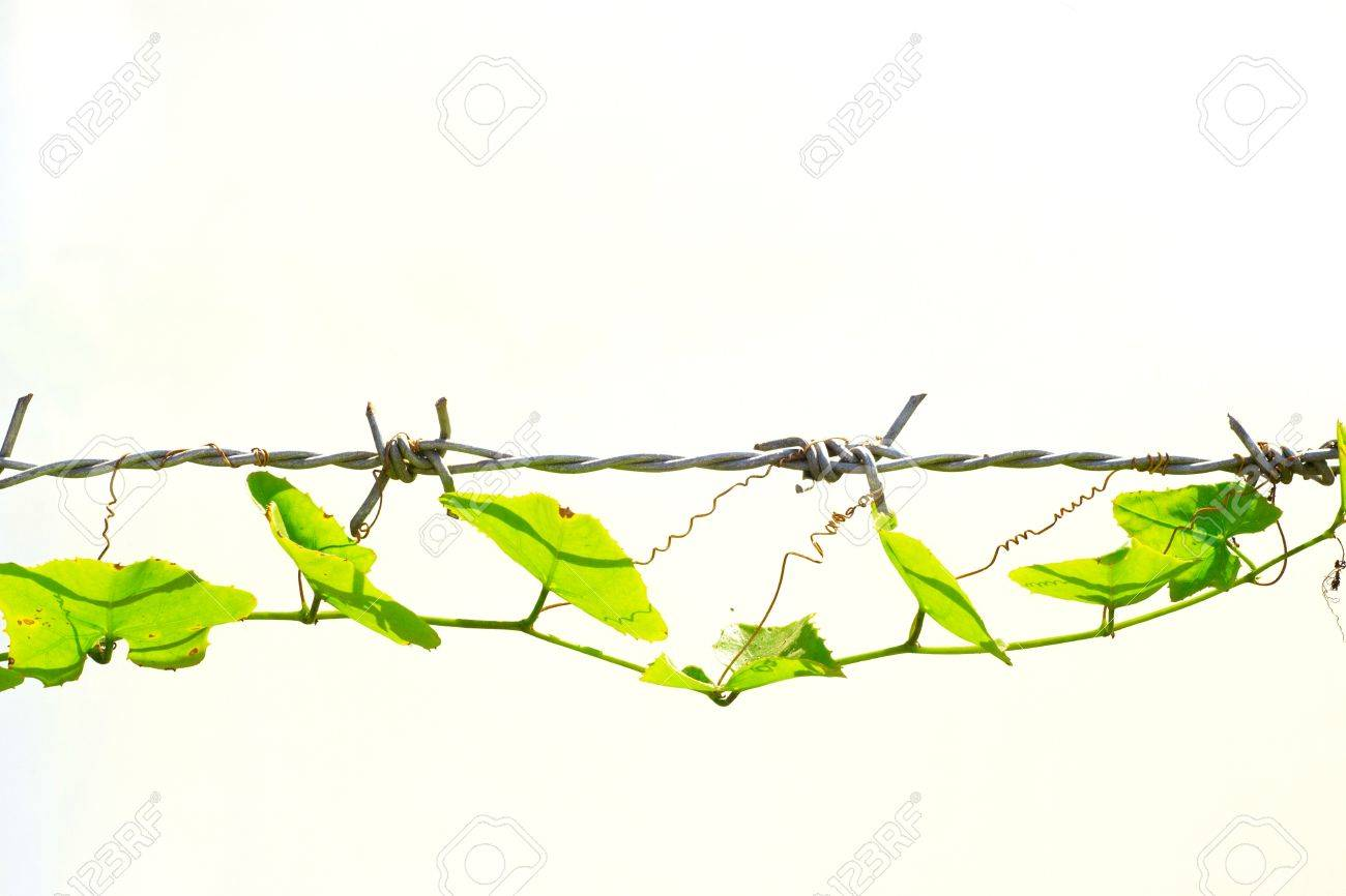 Gourd thousands of barbed wire. On a white background. Stock Photo - 12004254