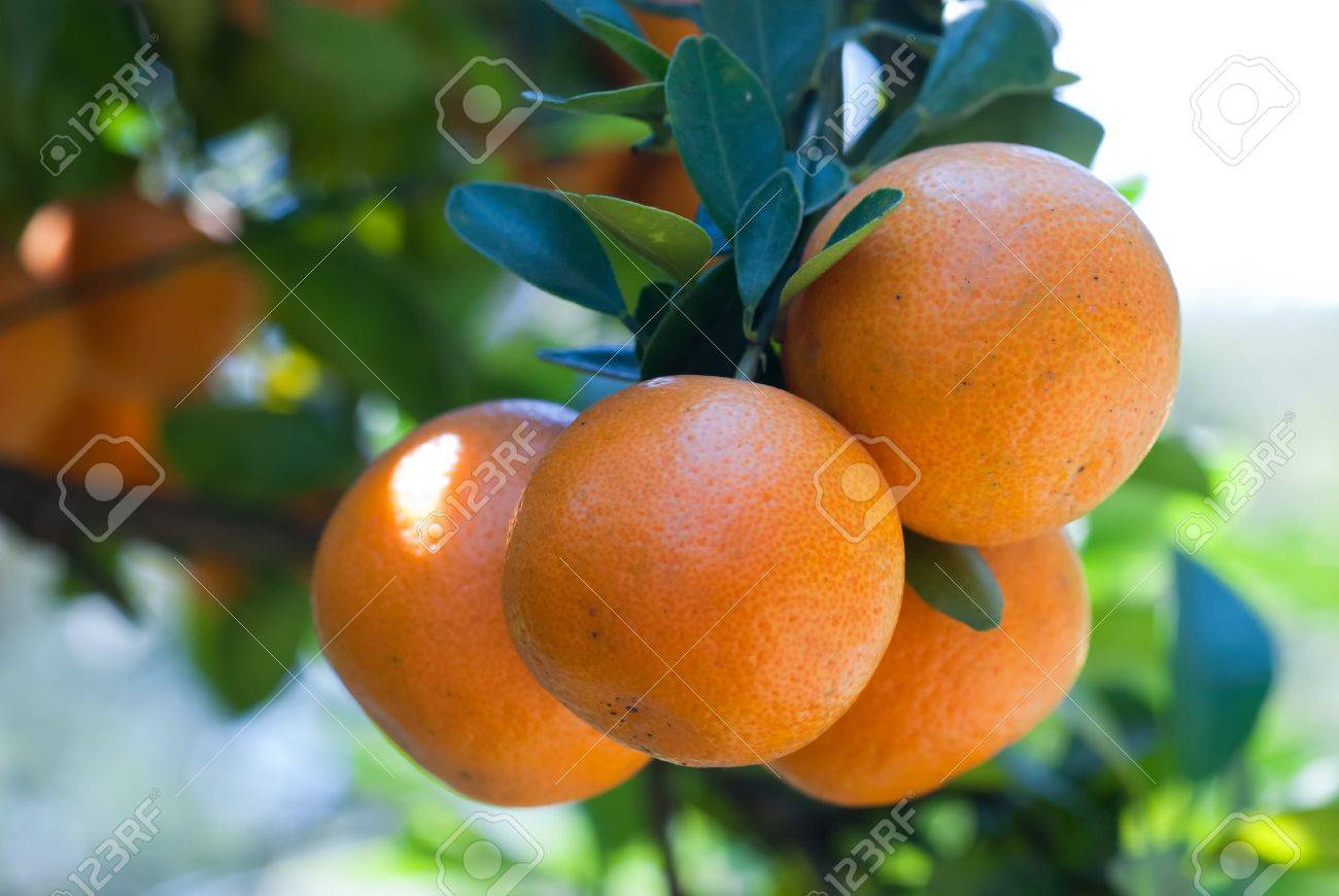 Fresh oranges close-up. A branch with several oranges. - 10022783