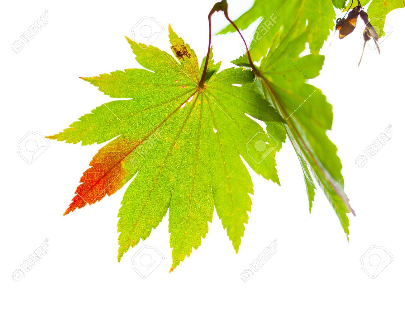 Japanese Maple Leaves Change Its Color From Green To Red In Autumn ...