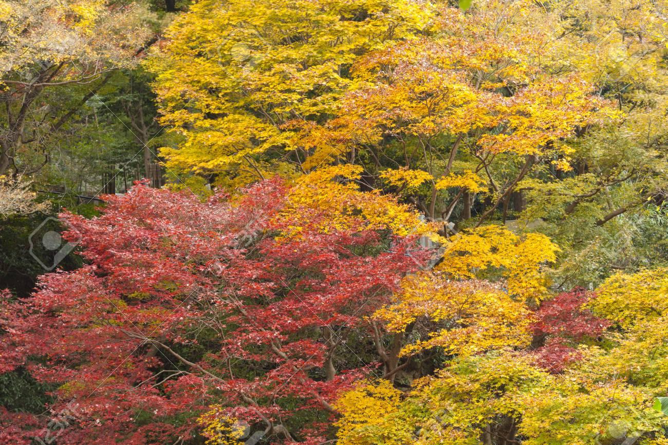 Japanese Maple Tree In Autumn Maruyama Park Kyoto Japan Stock