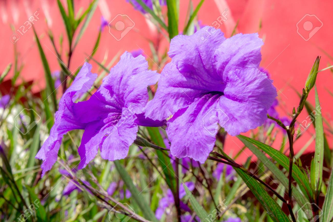 Purple Hibiscus Flower Stock Photo Picture And Royalty Free Image