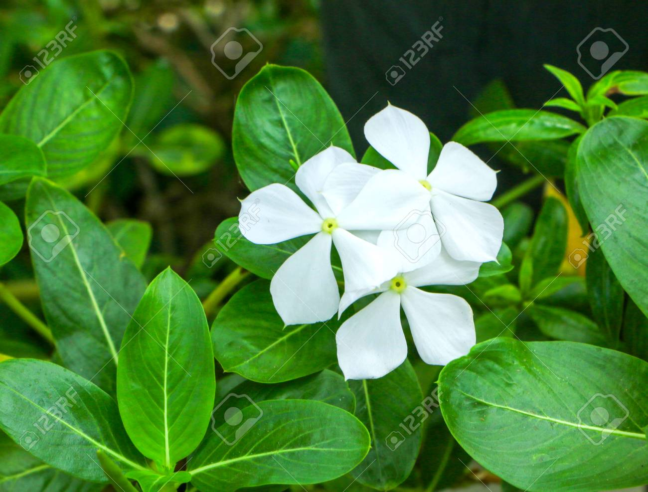Beautiful White Vinca Flower Stock Photo Picture And Royalty Free