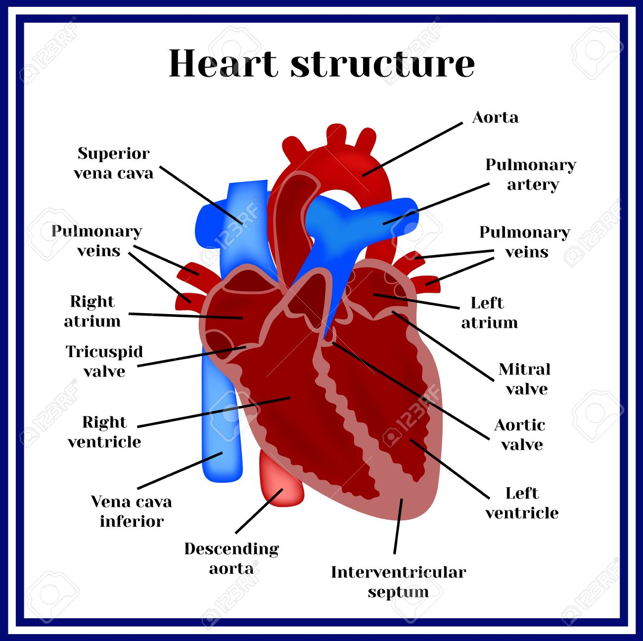 Heart Structure. The Organ Of The Circulatory System. Royalty Free ...