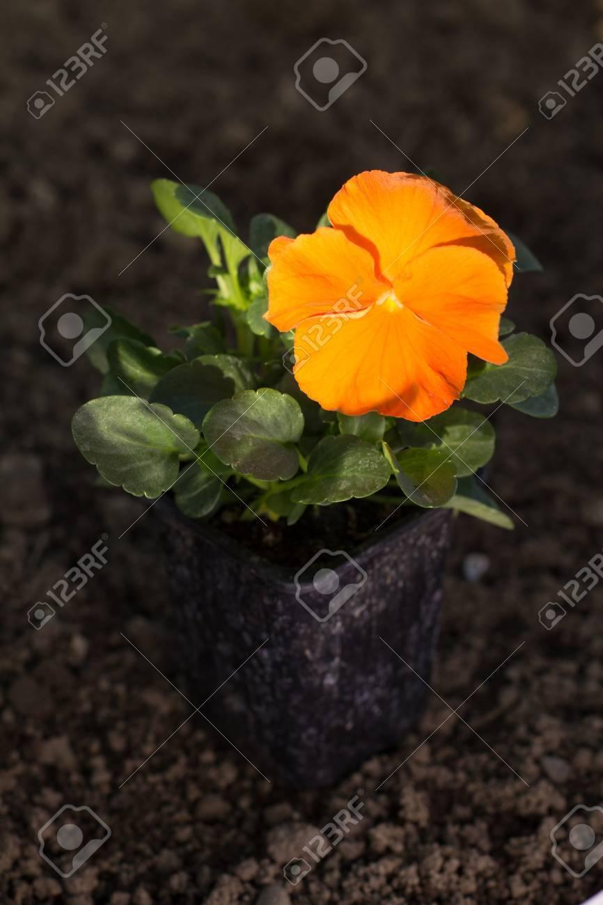 Une Fleur De Pensee Orange Un Patch Sec Et Clair De Terrain Banque