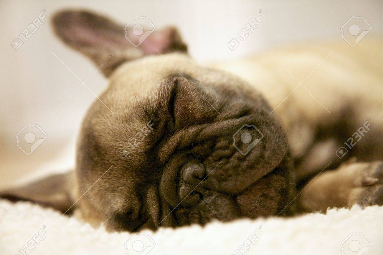 French Bulldog Puppy Macro Reddish Brown Sleeping Stock Photo Picture And Royalty Free Image Image 49118640
