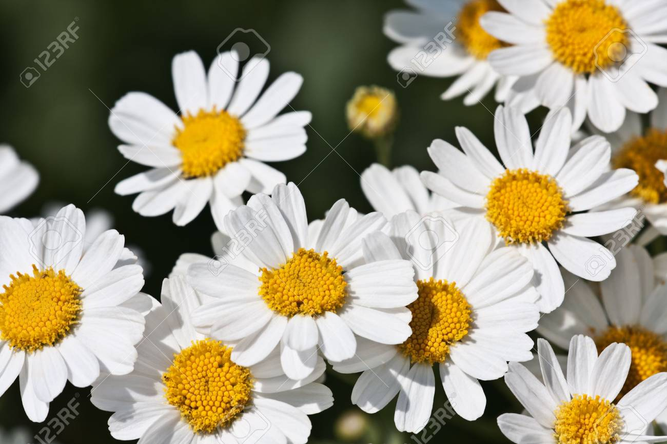 White flowers of camomiles on a summer meadow Stock Photo - 5243882