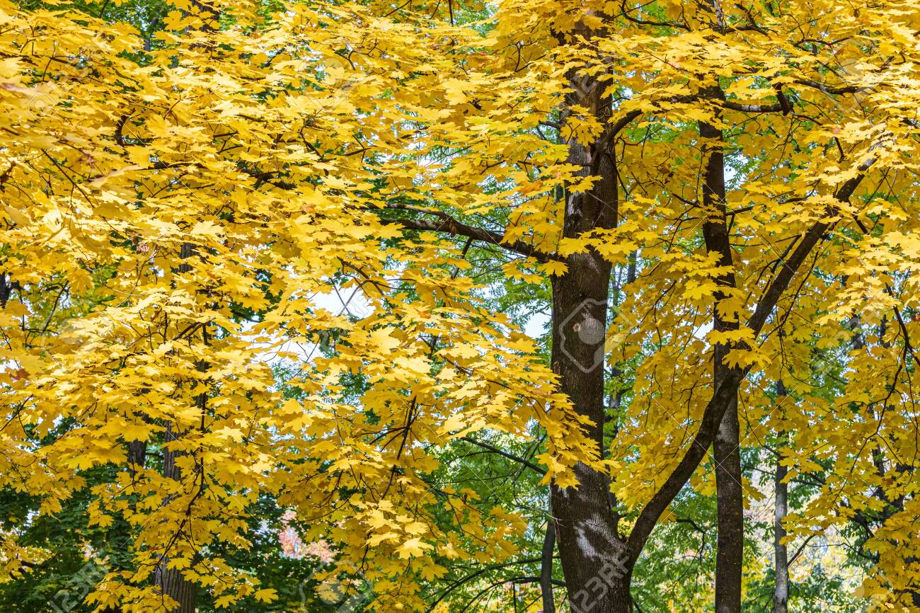 maple tree tops with gold foliage against blue sky background. closeup view of autumnal trees - 128596650