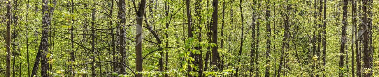 panoramic view of green deciduous forest in spring time. beech forest landscape at sunny day - 148871036