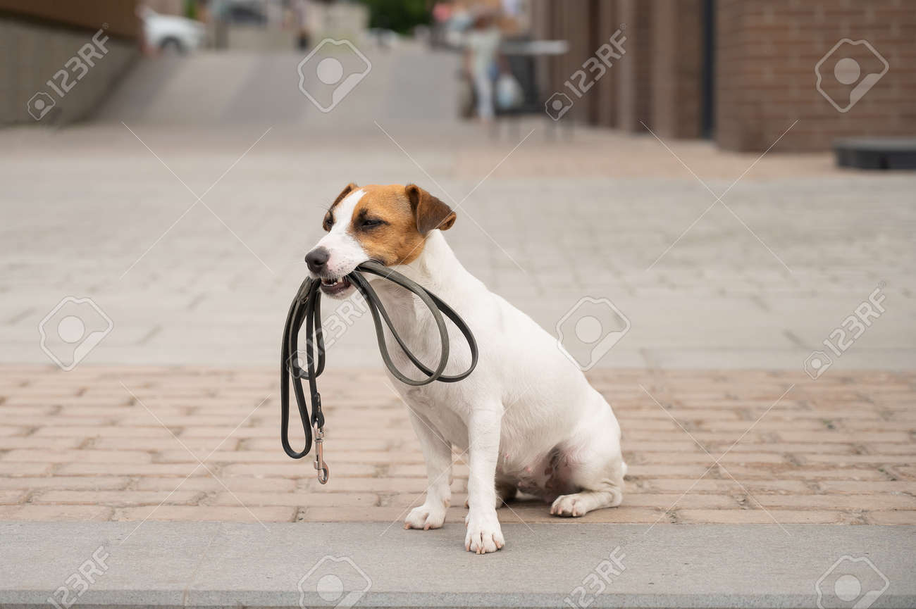 Lonely abandoned Jack Russell Terrier holds a leash in his mouth. Dog lost in the outdoors - 170595621