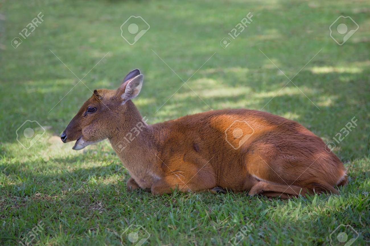A Barking Deer Champand Relax In The Morning At Khao Yai National Park Land Stock