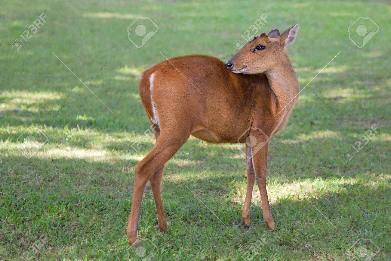 A Barking Deer Relaxing In The Morning At Khao Yai National Parkland Stock P O
