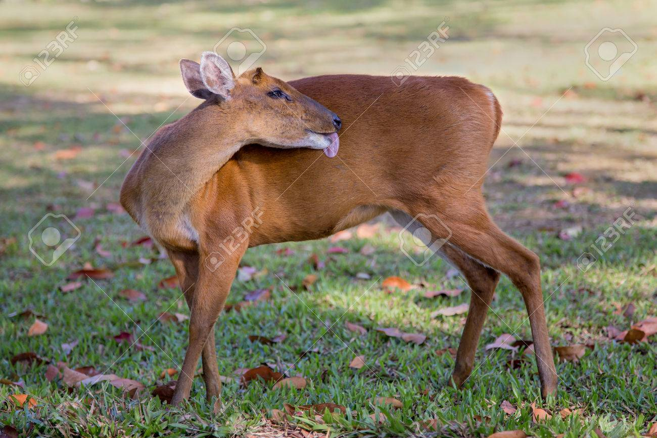 A Barking Deer Lick Its Body To Clean Itselfand Relaxing In The Morning At Khao Yai