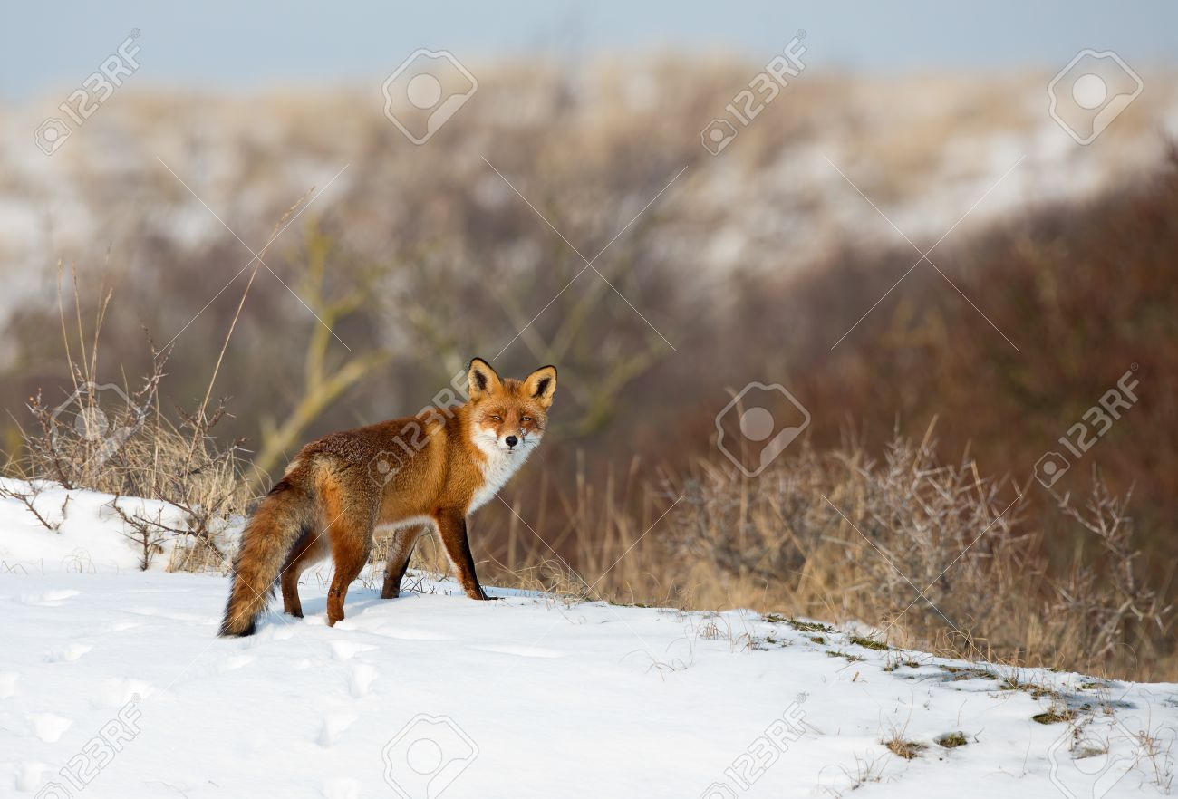 Red fox standing in a winter landscape - 35034167
