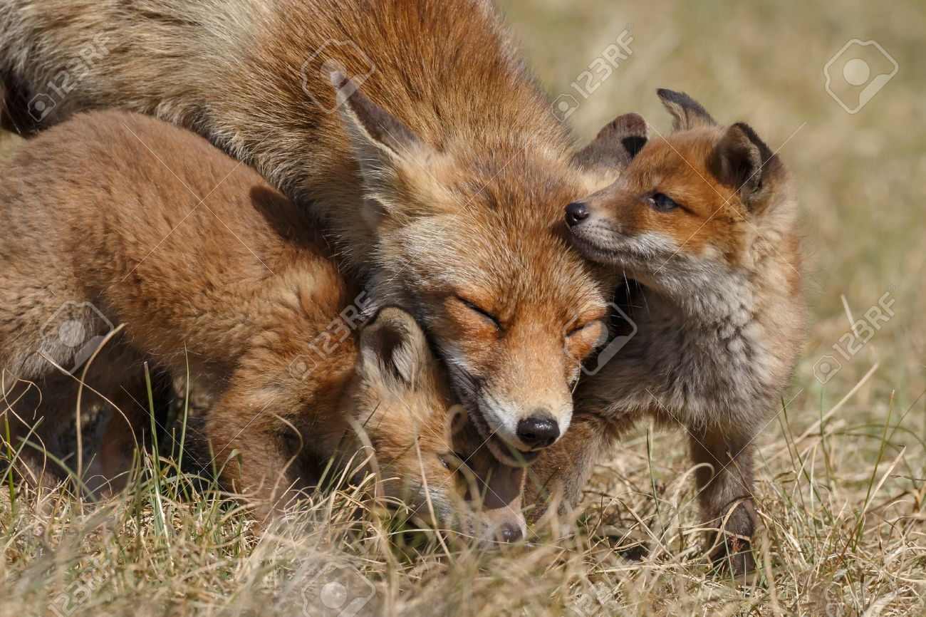Red fox in nature with cubs - 61761360