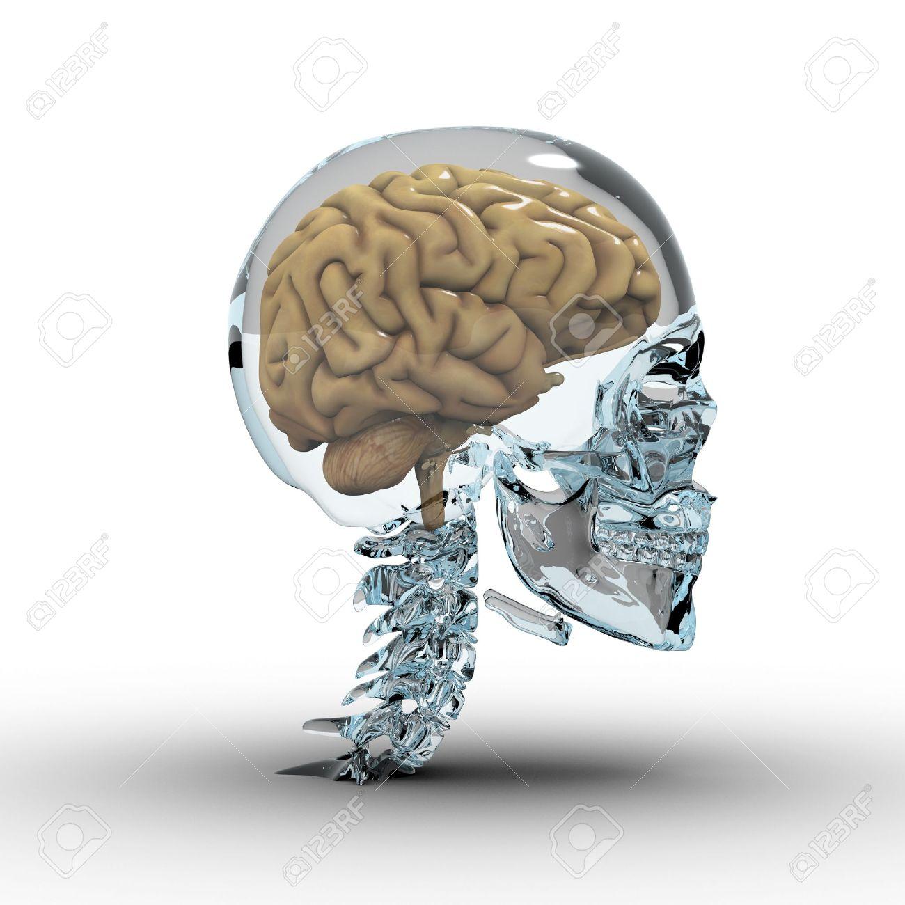 Glas-Schädel Mit Gehirn. Lizenzfreie Fotos, Bilder Und Stock ...