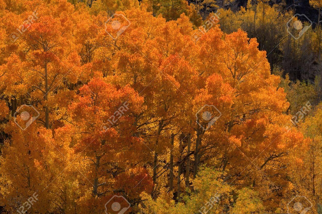 Colorful bright orange aspen trees in fall Stock Photo - 11088561