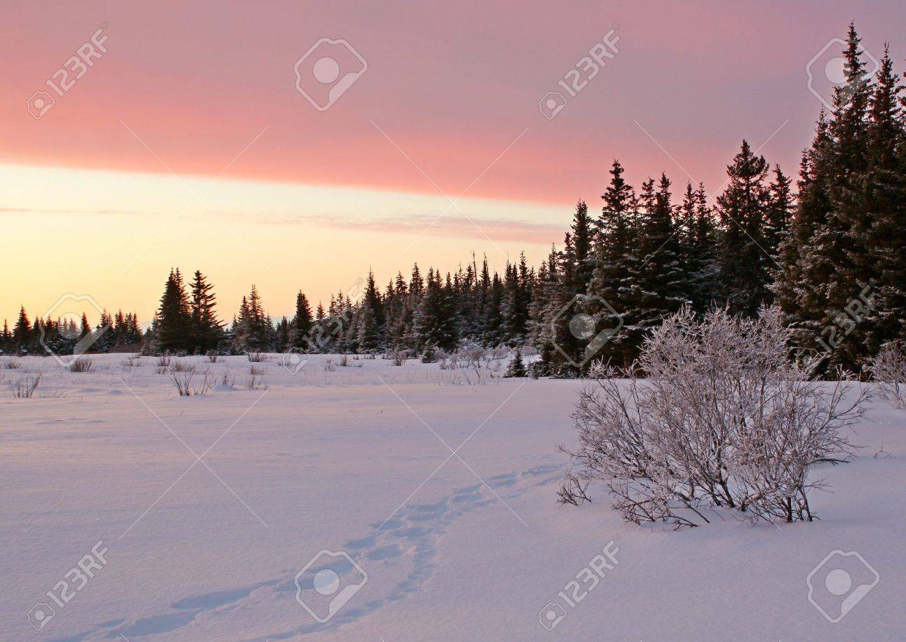 Snowshoe tracks following lynx tracks in the snow in the pink glow of sunset at the edge of an Alaskan spruce forest. Stock Photo - 11773609