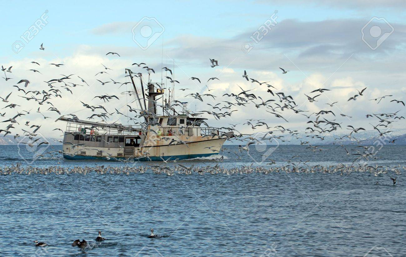 Old commercial fishing trawler heading out to sea in the Kachemak Bay near Homer, Alaska in winter surrounded by seagulls and shorebirds with snowy mountains in the background. Stock Photo - 12539266