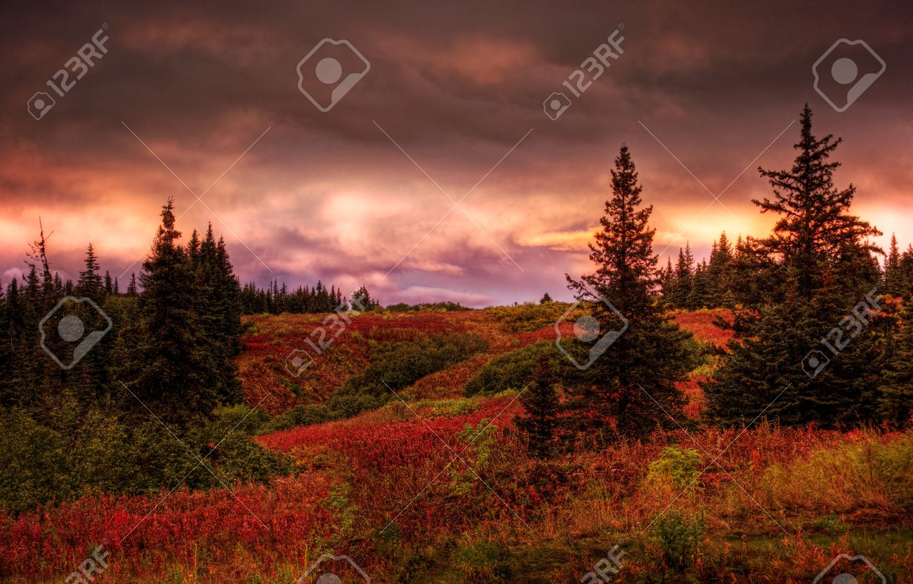 Fall sunset in rural Alaska with spruce trees and red fireweed with pink clouds. Stock Photo - 15391232