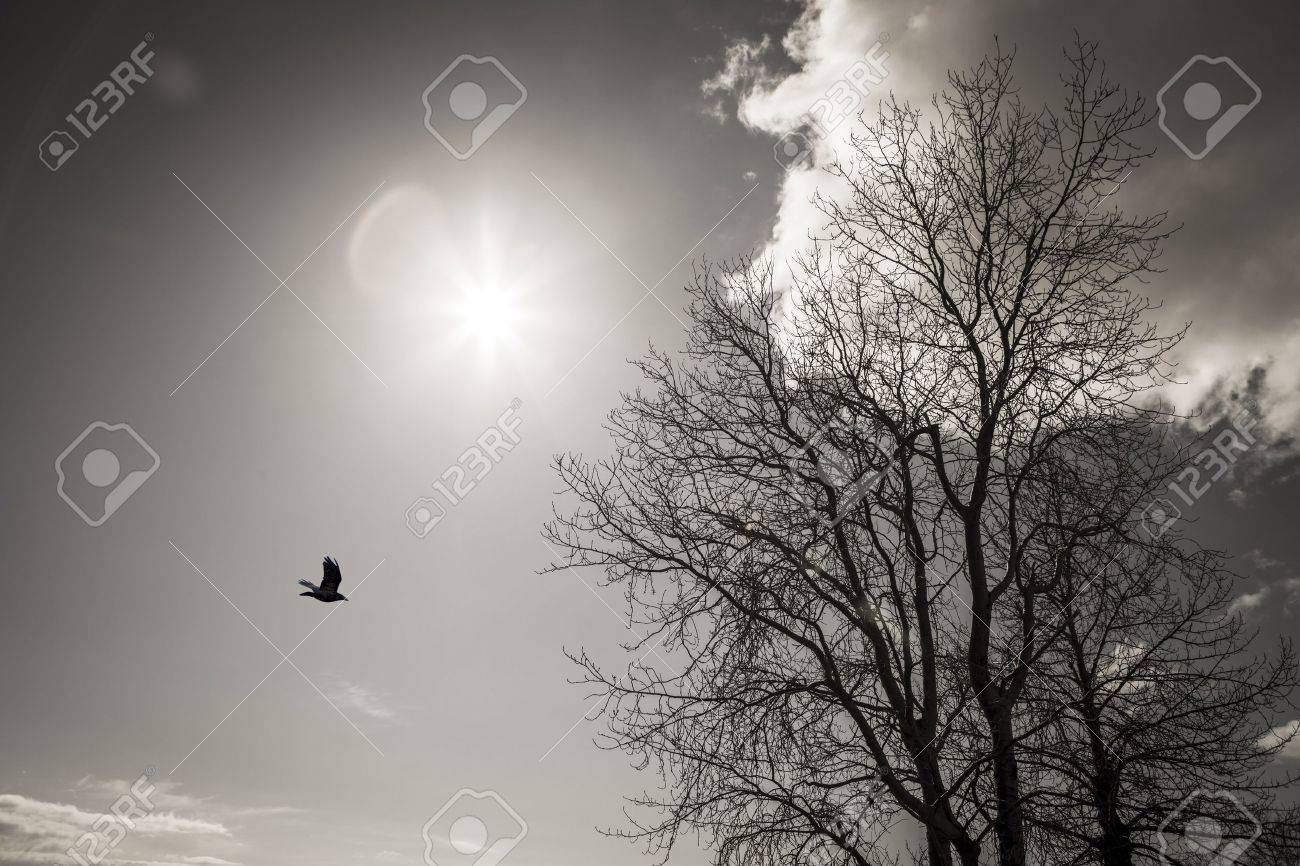 Stark winter birch tree with a sunburst, lens flare, crow, and cloud in black and white. Stock Photo - 19329043
