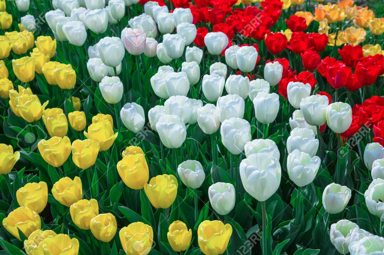 Tulip Flowers In Yellow White And Red Stock Photo Picture And