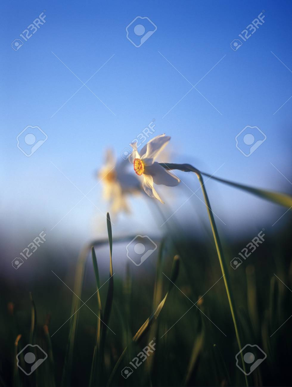 Spring daffodils in the warm light of sunset in Narcissi Valley. Stock Photo - 11932744