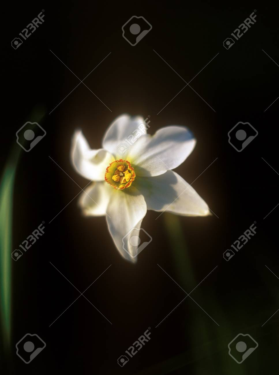 Daffodil in the warm light of sunset in Narcissi Valley. Stock Photo - 11958846