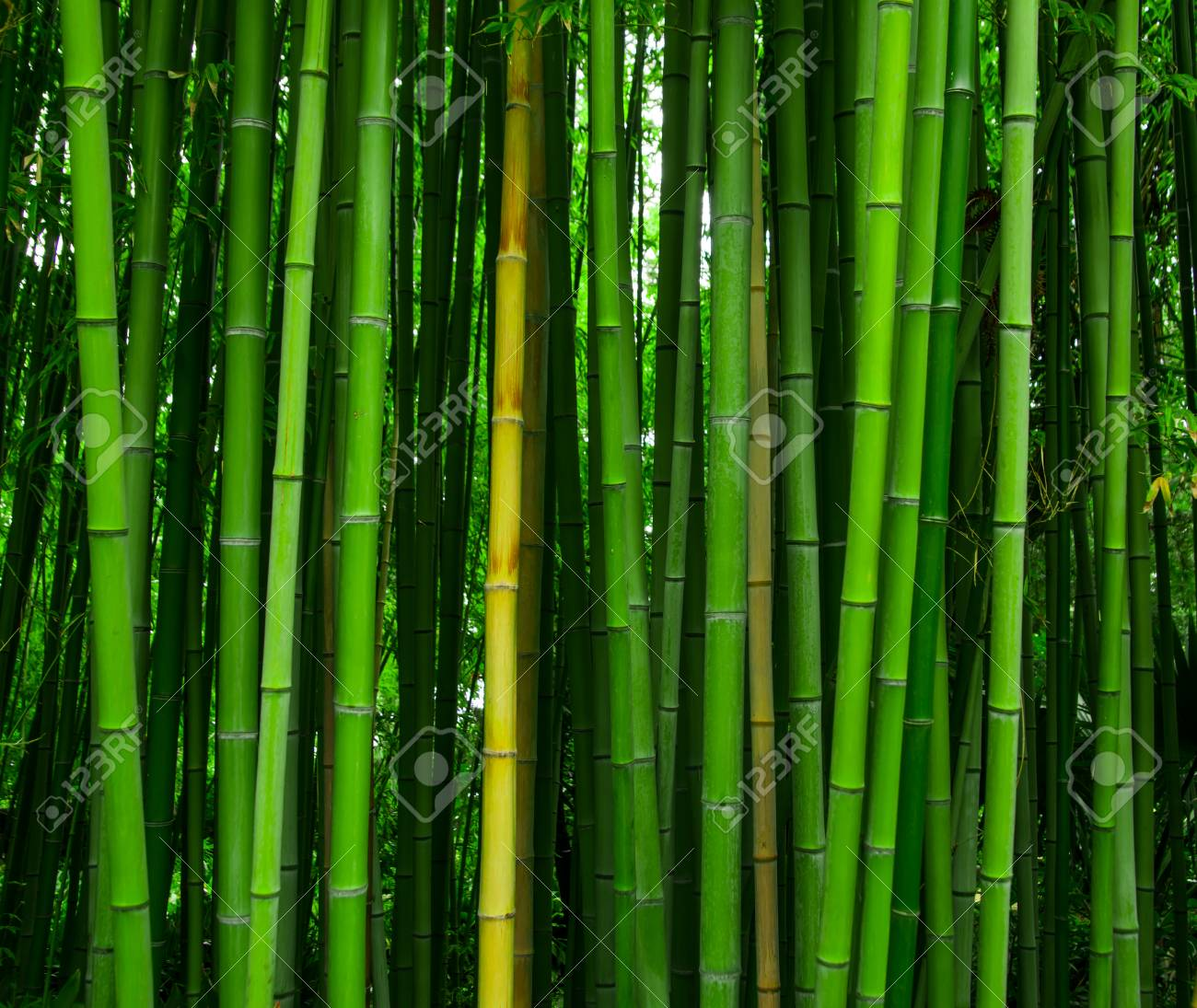 f9322fb9d153 Beautiful bamboo texture background. Green asian plants. Stock Photo -  117587220