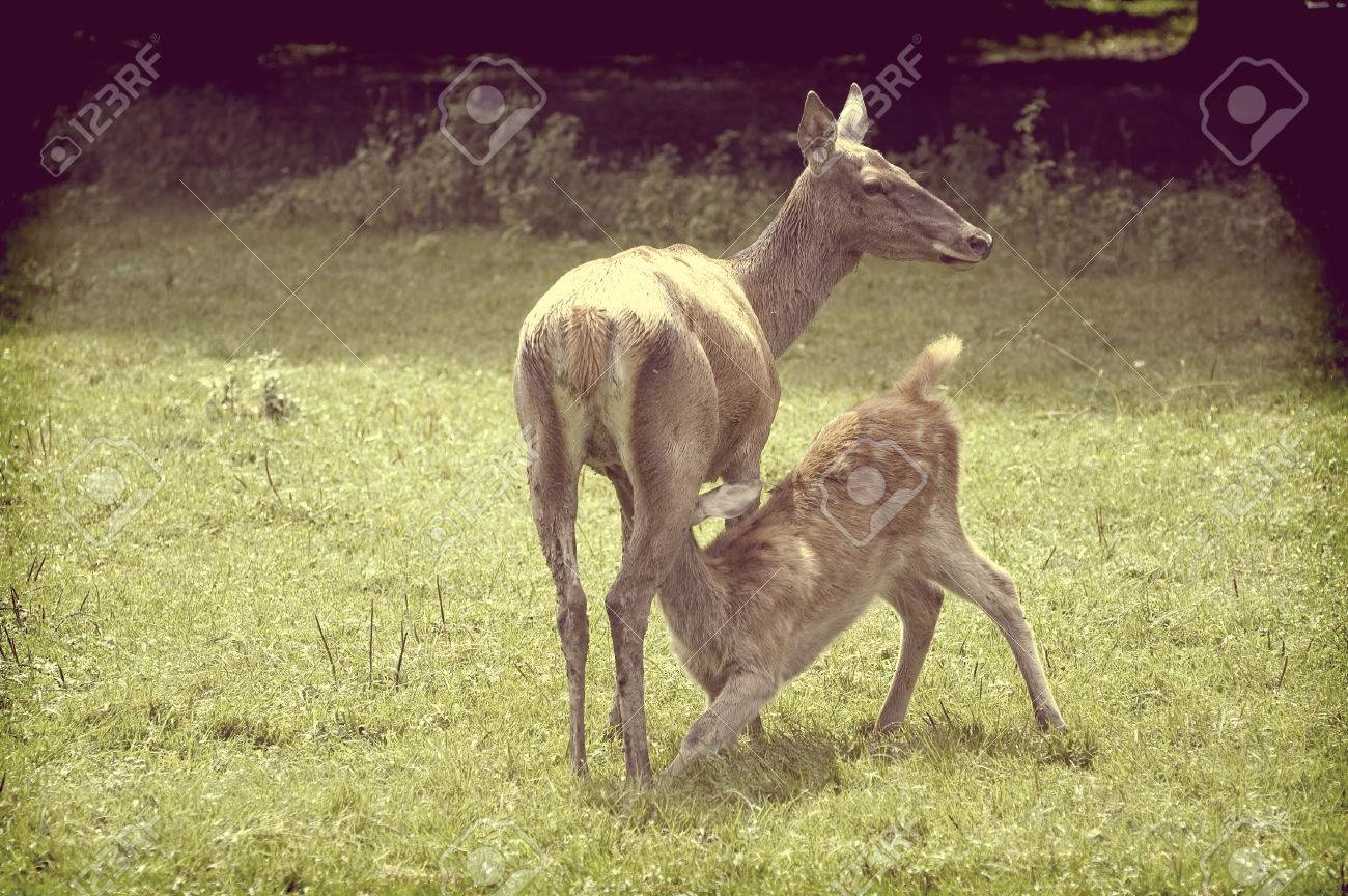 c3b8470da6f4 Stock Photo - Vintage view of young doe suking milk on the forest glade