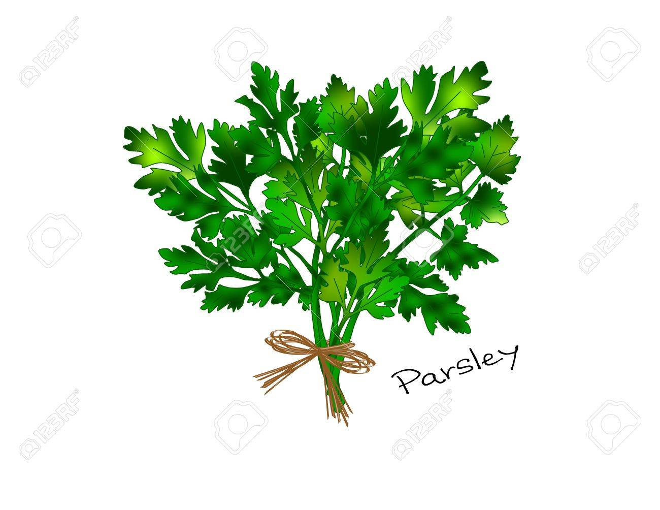 Parsley Illustration An illustration of a bunch of
